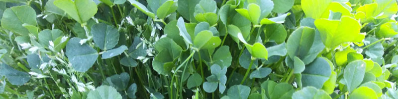 March Banner - photo of clover patch