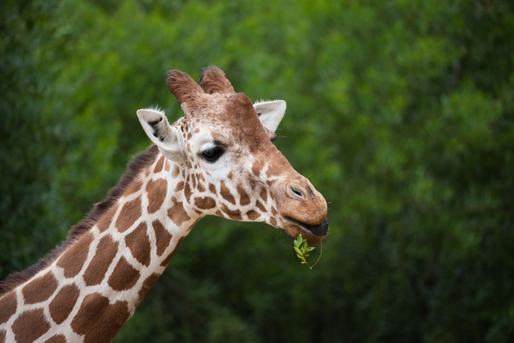 Giraffe eating a leaf