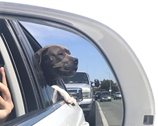 Rex Dog Car Ride