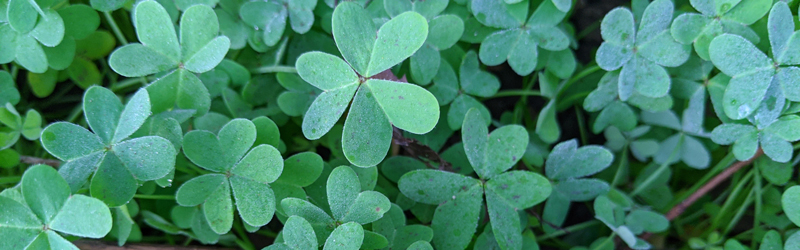 Photo of Shamrocks