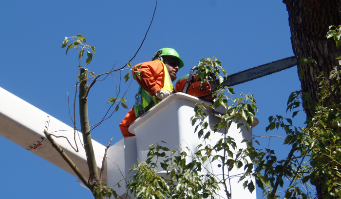 Public Works employees trimming tree branches with chainsaw